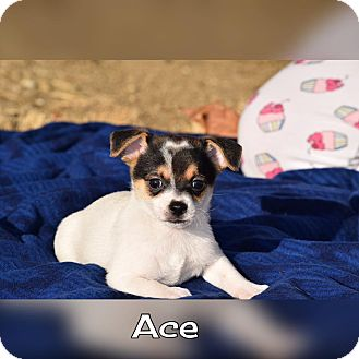 Terrier (Unknown Type, Small) Mix Puppy for adoption in Rosamond, California - Ace