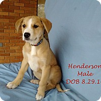 Adopt A Pet :: Henderson-pending adoption - Manchester, CT