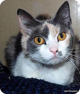Calico Cat for adoption in Lincolnton, North Carolina - Callie $20