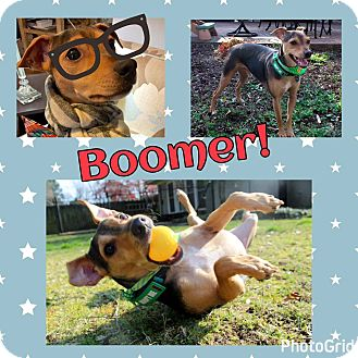 Beagle/Miniature Pinscher Mix Dog for adoption in Memphis, Tennessee - Boomer