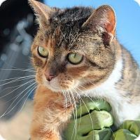 Adopt A Pet :: Tiger Lily - Justin, TX