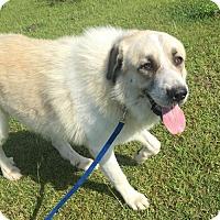 Adopt A Pet :: Fluffy - Lafayette, LA
