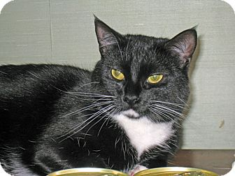 Domestic Shorthair Cat for adoption in Quincy, Massachusetts - Cookie