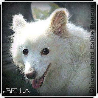 American Eskimo Dog Dog for adoption in Elmhurst, Illinois - Bella