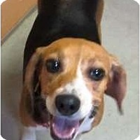 Adopt A Pet :: Shiloh - Courtesy - Indianapolis, IN