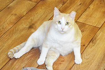 Domestic Shorthair Cat for adoption in Lincoln, Nebraska - Abbott