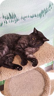 Domestic Shorthair Cat for adoption in Cody, Wyoming - Moonshine