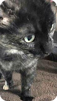 Domestic Shorthair Cat for adoption in Flint, Michigan - Liz