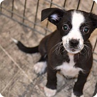 Adopt A Pet :: Veil - Albemarle, NC