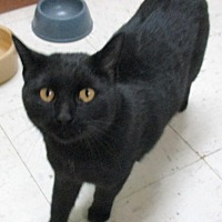 Domestic Shorthair Cat for adoption in Reeds Spring, Missouri - Tiana