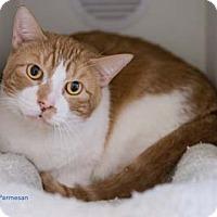 Adopt A Pet :: Parmesan - Merrifield, VA