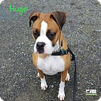 Adopt A Pet :: Hugo - Woodinville, WA