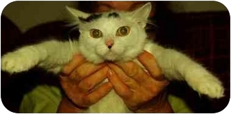 Domestic Longhair Cat for adoption in Witter, Arkansas - MATTY