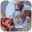 Photo 1 - Beagle/Boxer Mix Puppy for adoption in Spring Valley, California - Beagle/Boxer Pups