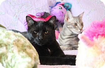 Domestic Shorthair Cat for adoption in Carlisle, Pennsylvania - Henry