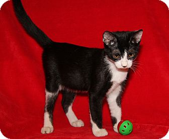 Domestic Shorthair Cat for adoption in Marietta, Ohio - Cosmo (Neutered)