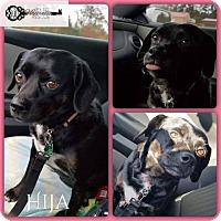 Adopt A Pet :: Hija - DeForest, WI