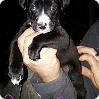 Labrador Retriever Mix Puppy for adoption in Burlington, Vermont - Marcee