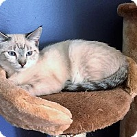 Adopt A Pet :: Latte (bonded to Gulliver) - Richmond Hill, ON
