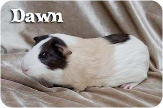 Guinea Pig for adoption in Fullerton, California - Dawn - Saffron