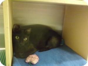 Domestic Shorthair Kitten for adoption in Fort Lauderdale, Florida - Dora