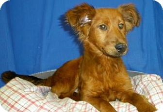 Golden Retriever/Collie Mix Puppy for adoption in Lincolnton, North Carolina - Goldie