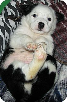 Terrier (Unknown Type, Small) Mix Puppy for adoption in Somers, Connecticut - Poe - our little panda puppy!