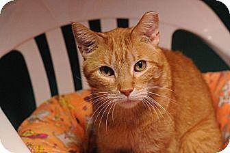 Domestic Shorthair Cat for adoption in Topeka, Kansas - Tim McGraw