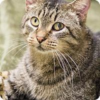 Adopt A Pet :: Napolean Dynomite - Chicago, IL