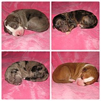 Adopt A Pet :: Puppies & more puppies!!! - Indianapolis, IN