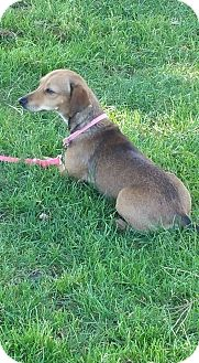 Dachshund/Chihuahua Mix Dog for adoption in Gustine, California - MOLLIE