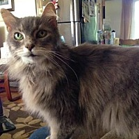 Domestic Mediumhair Cat for adoption in Richmond Hill, Ontario - Gellie