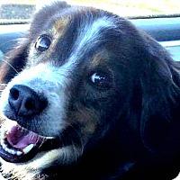 Adopt A Pet :: Chico - Courtesy Listing - Oakley, CA