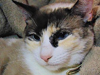 Siamese Cat for adoption in Belton, Texas - Kat