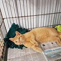 Domestic Shorthair Cat for adoption in Colfax, Illinois - Simba
