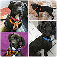 Adopt A Pet :: Zsa Zsa - Forked River, NJ