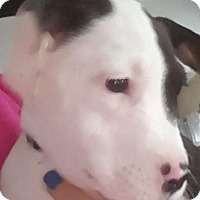 Adopt A Pet :: Simon - Lake In The Hills, IL