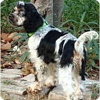 Adopt A Pet :: Paisley Grace - Sugarland, TX