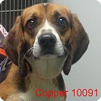 Adopt A Pet :: Copper - Greencastle, NC