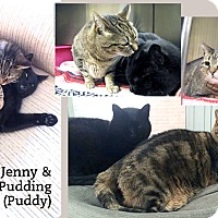 Domestic Shorthair Cat for adoption in Oakville, Ontario - Jenny & Pudding (Puddy)