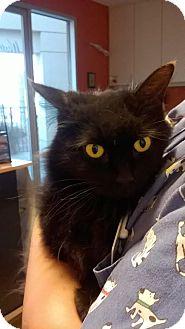 Domestic Longhair Cat for adoption in Westminster, California - Freschetta