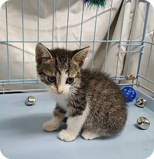Siamese Kitten for adoption in Overland Park, Kansas - Charlie