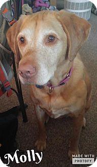 Labrador Retriever Dog for adoption in New Boston, Michigan - Molly