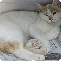 Turkish Van Cat for adoption in Ocala, Florida - LOKI