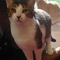 Domestic Shorthair Kitten for adoption in Anderson, Indiana - Patrick