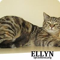 Domestic Shorthair Cat for adoption in Elizabeth City, North Carolina - Ellyn