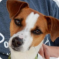 Jack Russell Terrier/Italian Greyhound Mix Dog for adoption in Bronxville, New York - Lola