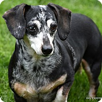 Adopt A Pet :: Diva/Sophie, 10 yrs, $250 fee - Spokane, WA