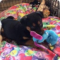 Adopt A Pet :: Princess Sophia MEET Sat 5/27 - Ada, MN