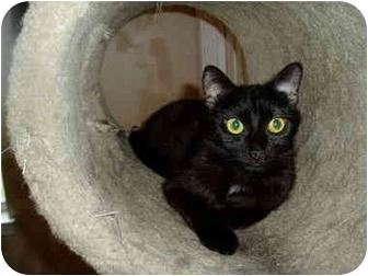 Domestic Shorthair Cat for adoption in Little Rock, Arkansas - Lil' Missy